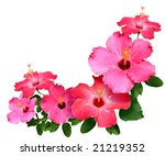 Stock photo pink and red hibiscus flowers isolated in white with copy space 21219352