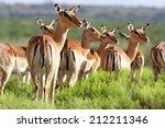 A Breeding Herd Of Impala...