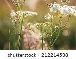 Yarrow Plant  Achillea...
