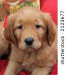 adorable golden retriever puppy - stock photo
