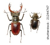 Male And Female Of Stag Beetle...