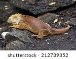Galapagos Land Iguana On The...
