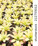 bromeliad plants in the garden | Shutterstock . vector #212755012