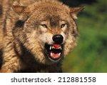 snarling grey wolf | Shutterstock . vector #212881558