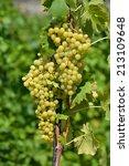 grape. | Shutterstock . vector #213109648
