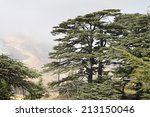 Small photo of The cedar forest in Lebanon in the fog.