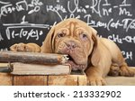 Stock photo puppy of dogue de bordeaux french mastiff chewing a book 213332902