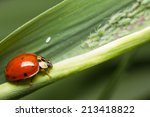 Close Up Of Aphids And A...