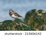 ruddy turnstone  arenaria... | Shutterstock . vector #213606142