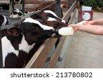 Baby Cow Feeding From Milk...