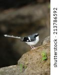 Small photo of Slaty-backed Forktail .Bird catching on stone