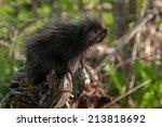 Baby Porcupine  Erethizon...