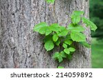 Poison Ivy Vine Growing Up The...