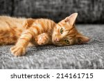 Stock photo cat kitten weeks old lying on bed 214161715