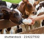 Calf Feeding From Milk Bottle.