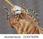 Wasp Spider On A Brown Leaf.