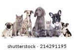 Stock photo weimaraner puppy and kitten cat and dog 214291195