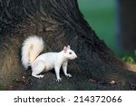 Rare White Squirrel In The Cit...