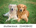 portrait of two young dogs... | Shutterstock . vector #214438432