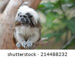 Tamarin Cotton Top Monkey...