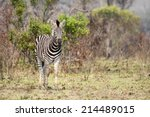 A Young Wild Zebra Standing In...