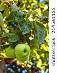 Close Up Of Green Apples On A...