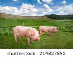 Small photo of Cute pigs grazing at summer meadow at mountains pasturage under blue sky. Organic agriculture natural background