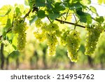 whites grapes  pinot blanc  in... | Shutterstock . vector #214954762