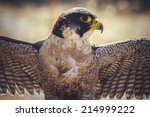 Peregrine Falcon With Open...
