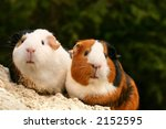 Two Guinea Pigs Looking At The...