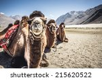 three camels in a row in nubra... | Shutterstock . vector #215620522