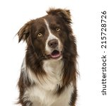 Border Collie  2 Years Old