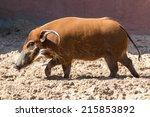 Red River Hog  Bush Pig  Held...
