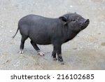 Little Piglet Breed Pot Bellied ...
