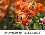 Tiger Lilies In  Garden. Liliu...