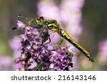 Common Darter Dragonfly Perche...