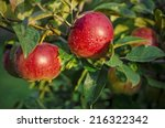 fresh red apples in the...   Shutterstock . vector #216322342