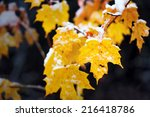 A Close Up Of Yellow Maple...