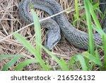 Japanese Rat Snake.
