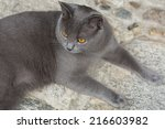 chartreux cat  12 months old | Shutterstock . vector #216603982