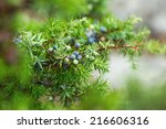 Juniper berries wet of the morning dew during autumn, sweden  - stock photo