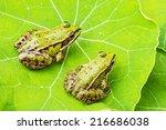Rana Esculenta   Common...