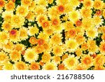 Chrysanthemum flowers background in yellow and orange  - stock photo