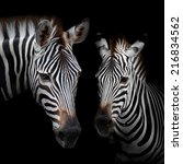 Close Up Two Zebras With A...