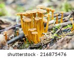 Group of edible mushrooms on forest floor, Cantharellus tubaeformis  - stock photo