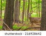 whitetail deer buck standing in ... | Shutterstock . vector #216928642
