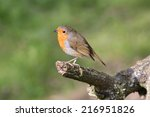 an adult robin perching on the... | Shutterstock . vector #216951826