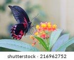 Stock photo scarlet mormon butterfly feeding on a flower 216962752