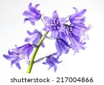 Small Blue Bells Flower...