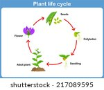 vector life cycle of a plant... | Shutterstock .eps vector #217089595